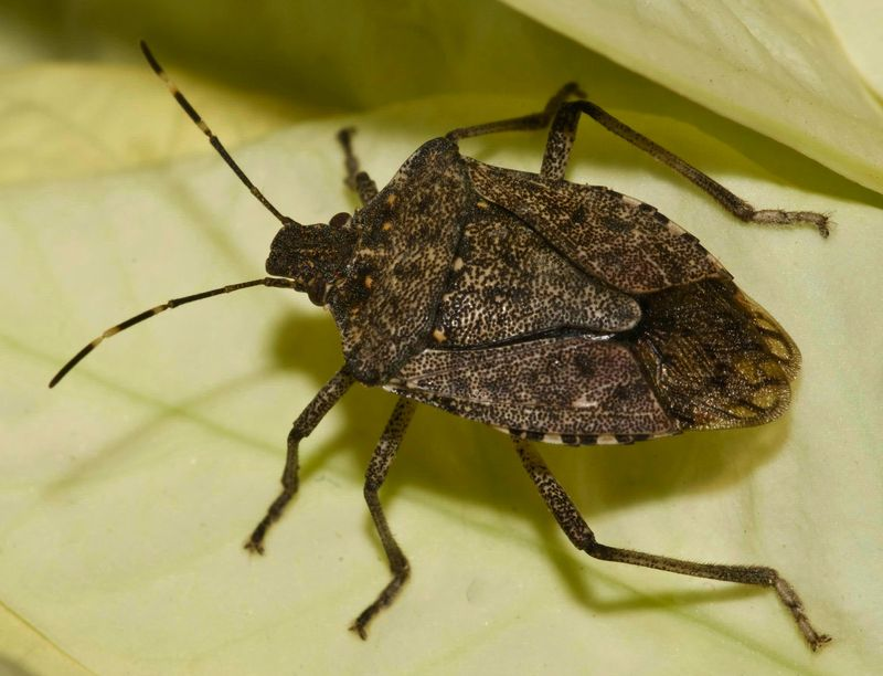 stink bugs Stink bugs are shield-shaped insects that can smell very bad this is a large family of true bugs known for producing a foul odor when harassed.