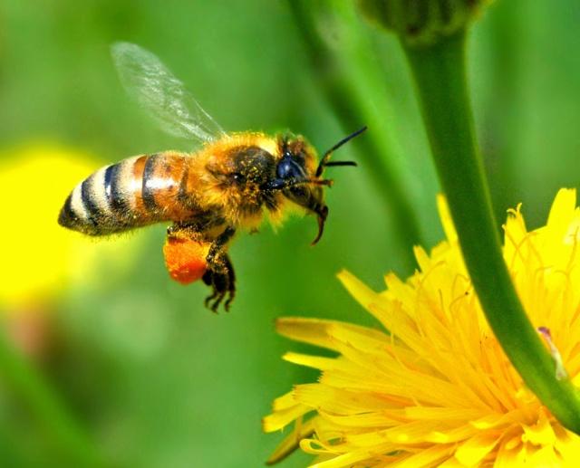honeybee approaching a flower