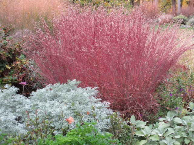 Little Bluestem. Photo courtesy of University of Minnesota's Minnesota Landscape Arboretum.