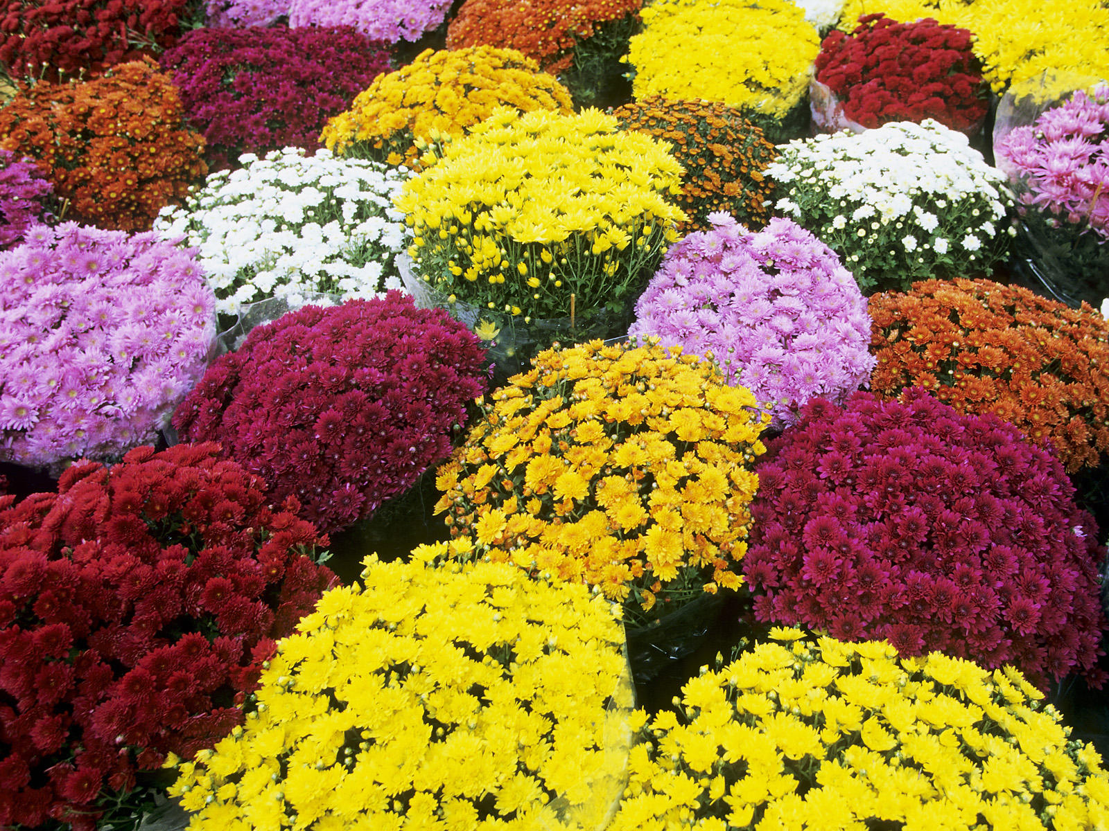 mums chrysanthemums at a flower market in southern france