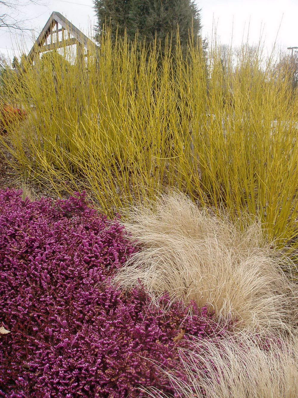 Full bloom little bluestem and purple love grass for Purple ornamental grass