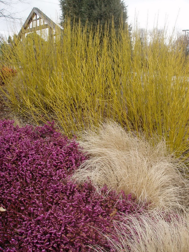 Ornamental grasses at the University of Washington Center for Urban Horticulture's Soest  Garden. Photo courtesy of UW Botanic Gardens.