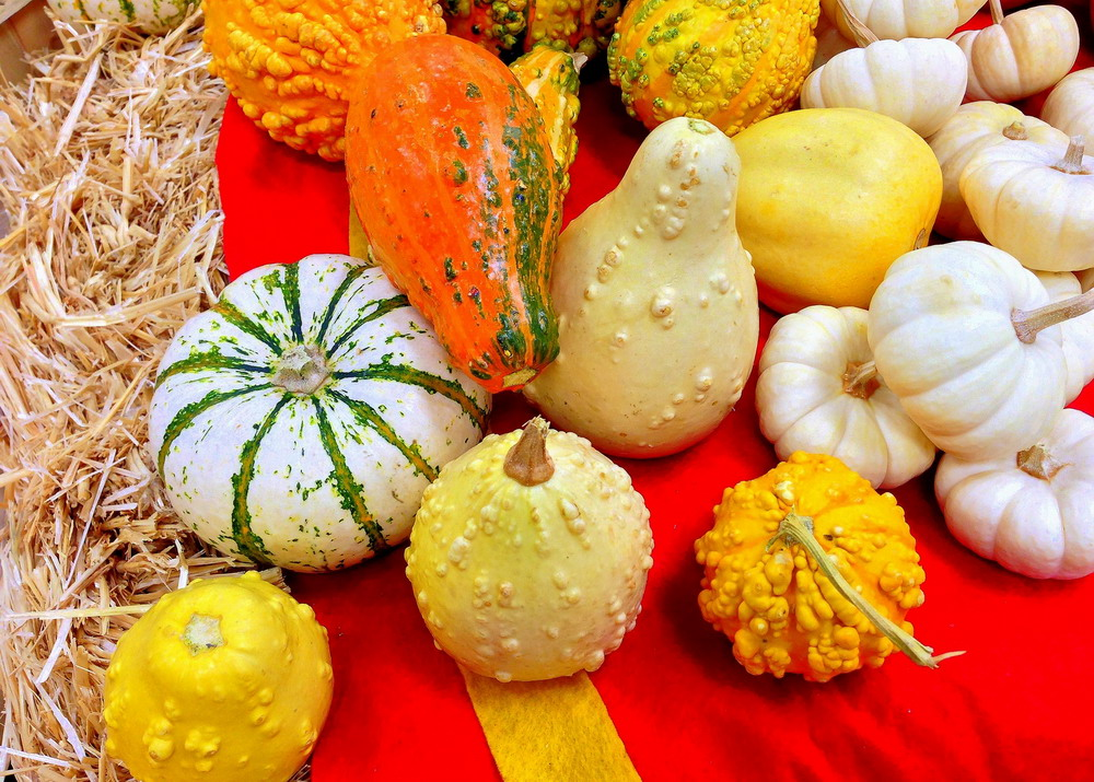 Your one gourds will not mature on vine