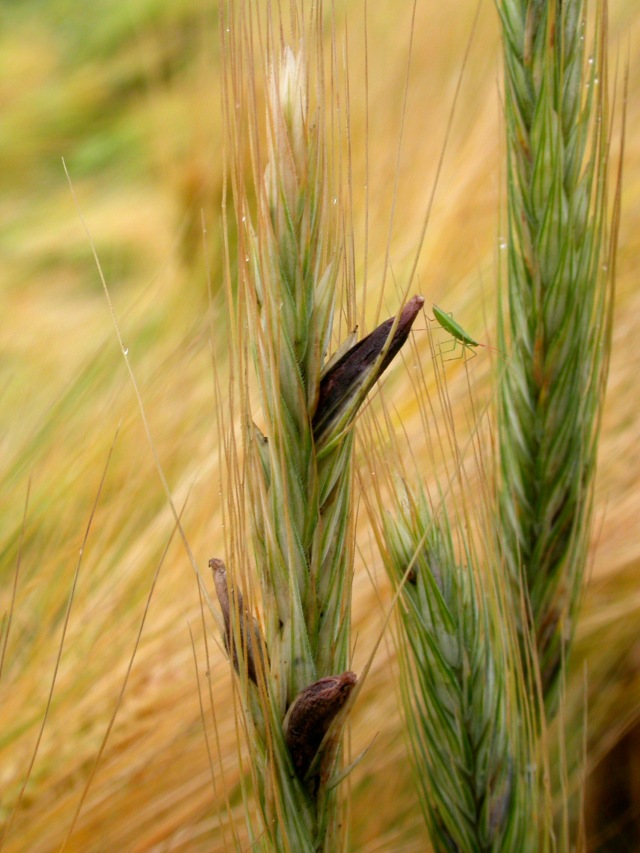 Rye grain infected with ergot fungi. Photo courtesy of Brad Smith via Flickr.