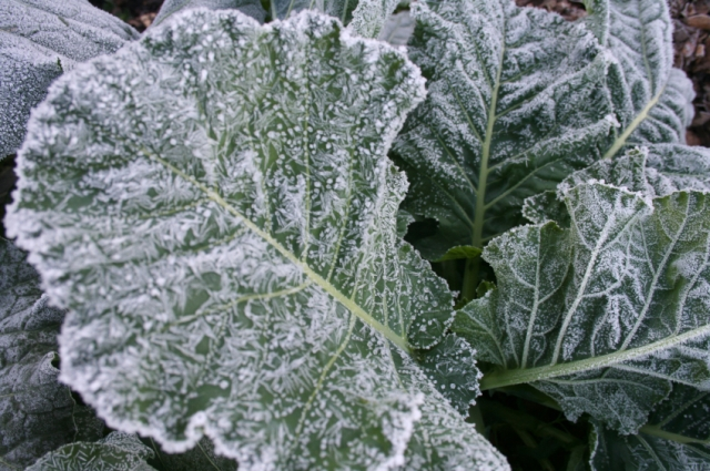 Frost-covered collard greens, a cold-loving leafy vegetable. Photo courtesy of Bonnie Plants.