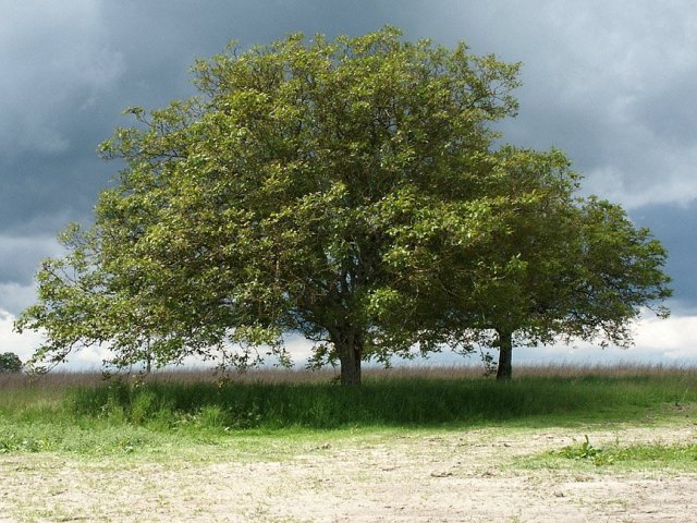 A walnut tree in France. Photo courtesy of Loire Valley Time Travel.