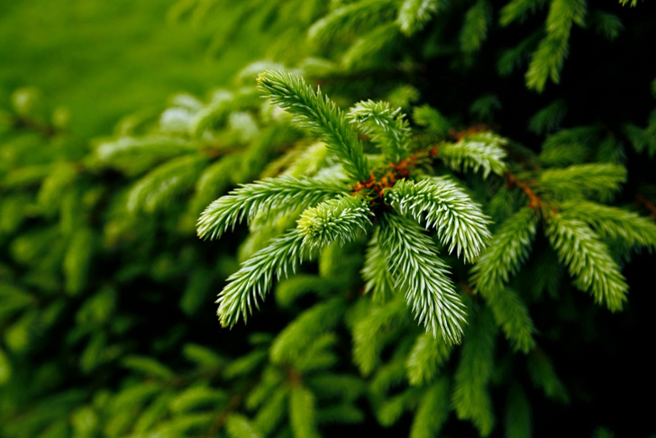 Keeping the Green in Holiday Evergreens | Garden Variety Evergreen Branch