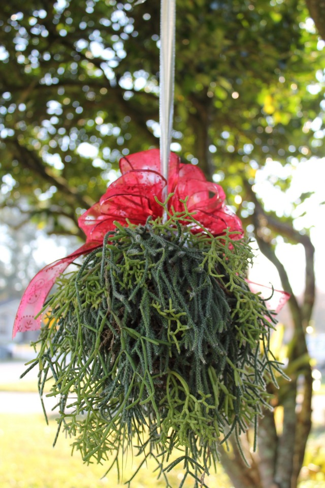 The Kissing Ball Mistle made from succulent plants. Photo courtesy of Steve Asbell.