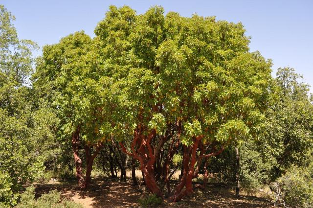 A mature strawberry tree. Photo courtesy of Brandt Maxwell.