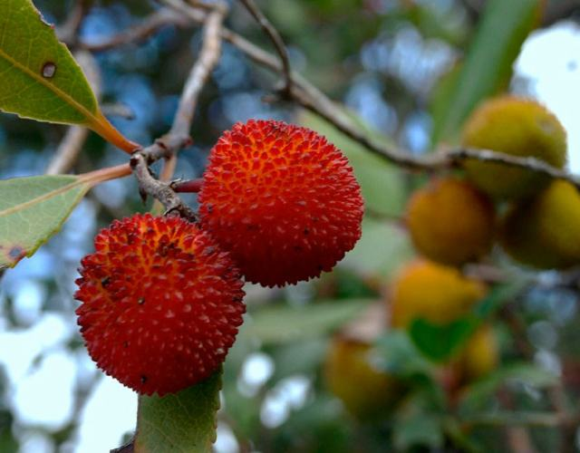 Fruit of the strawberry tree. Photo courtesy of Ellinas N.