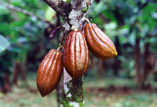 Cocoa bean pods. Photo courtesy of World Cocoa Foundation.