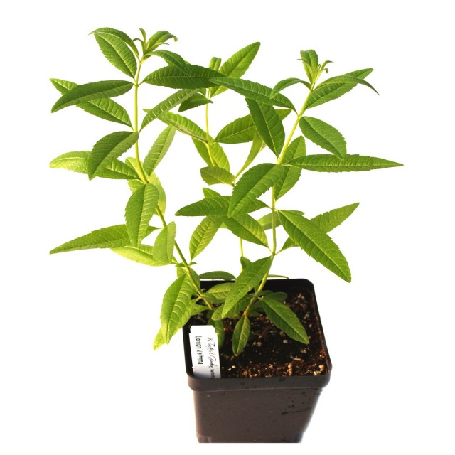 A Lemon Verbena plant, a tender shrub and herb with fragrant lemony leaves perfect for the cook's kitchen.