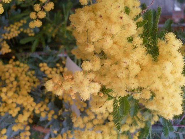 A close-up of mimosa blooms. Photo courtesy of Mike Alexander.