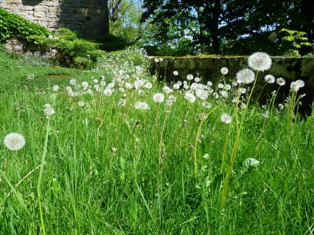 dandelion-flowers-weeds-france-2