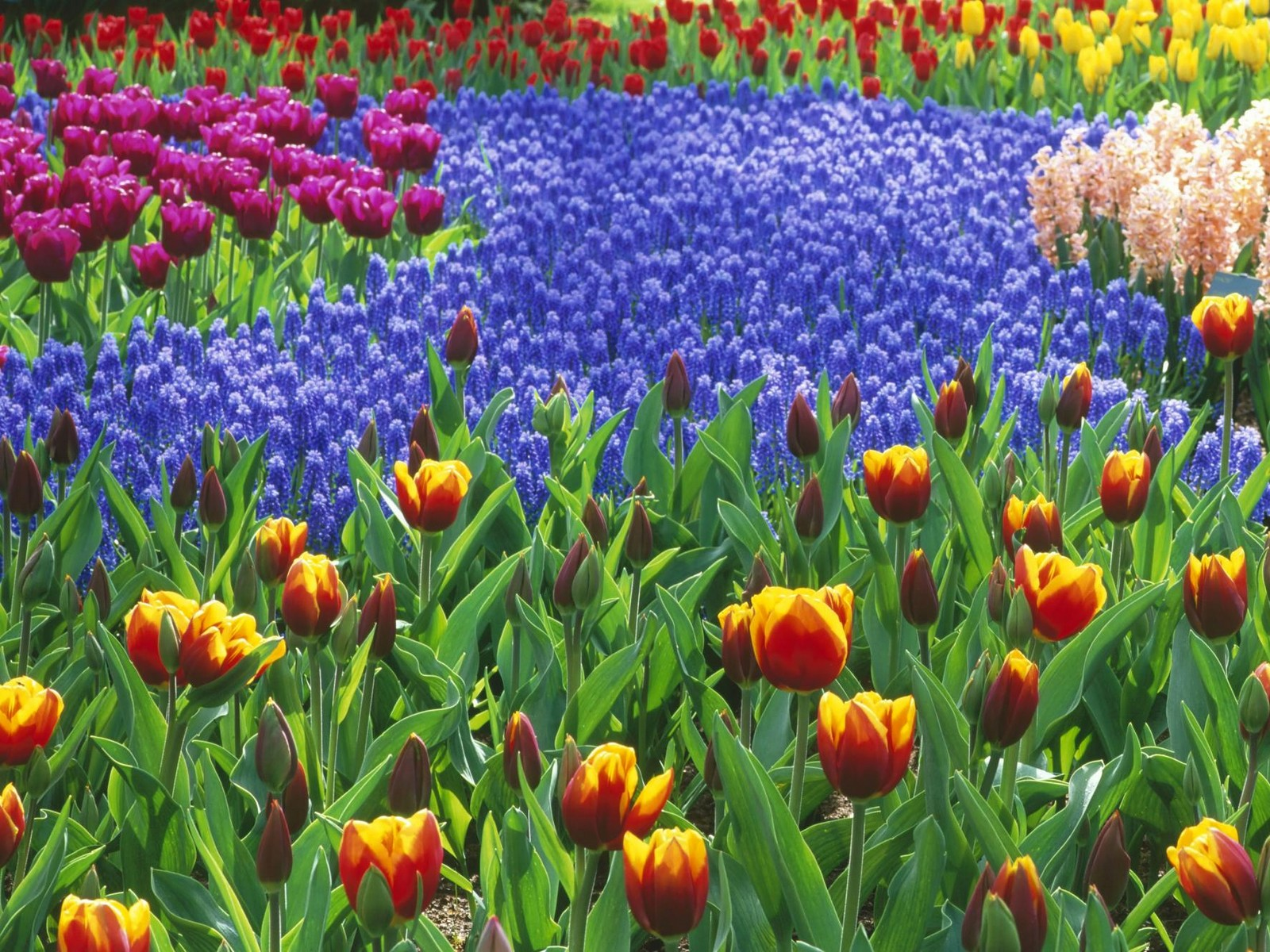 Photos the world s largest flower garden garden variety for What season are tulips
