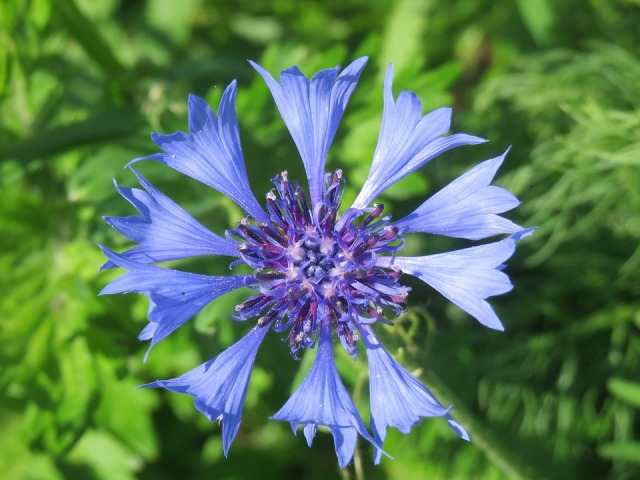 centaurea-cyanus-855443_960_720.jpg