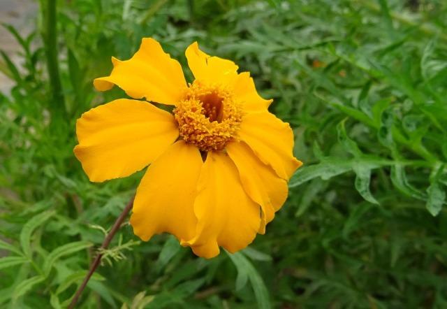 marigold-1707501_960_720