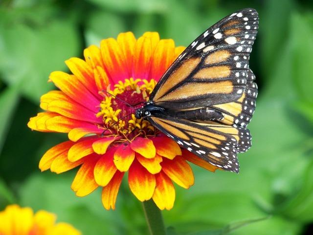 monarch-18140_960_720