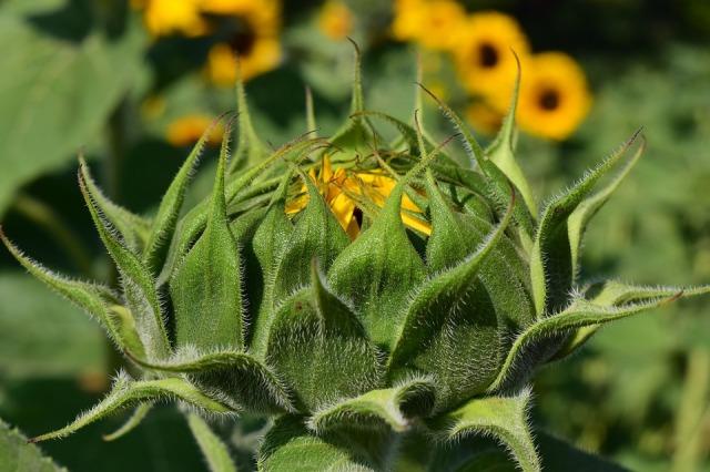 sun-flower-1627203_960_720