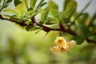 1024px-Berberis_thunbergii_flowers_in_Pennwood_State_Park