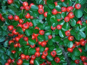 cotoneaster-438353_960_720