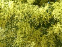acacia-415271_960_720