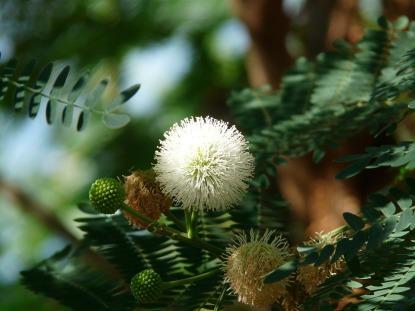 acacia-flowers-73865_960_720