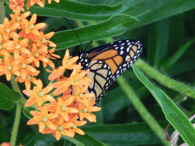 monarch-butterfly-2466540_960_720