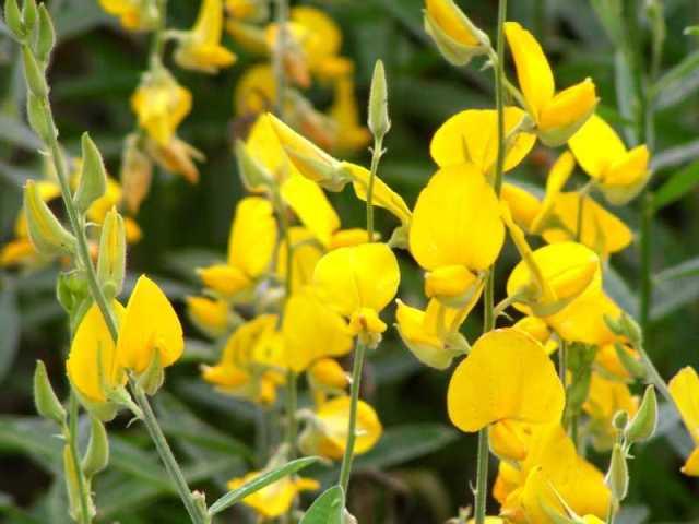 Sunn Hemp Plant Garden
