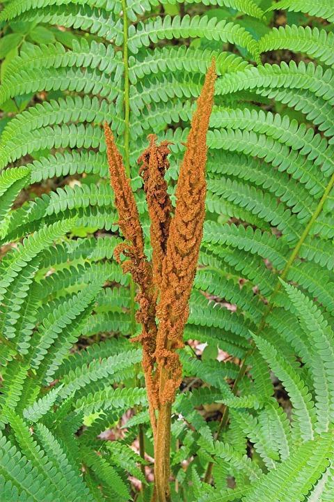 cinnamon-fern-1198373_960_720