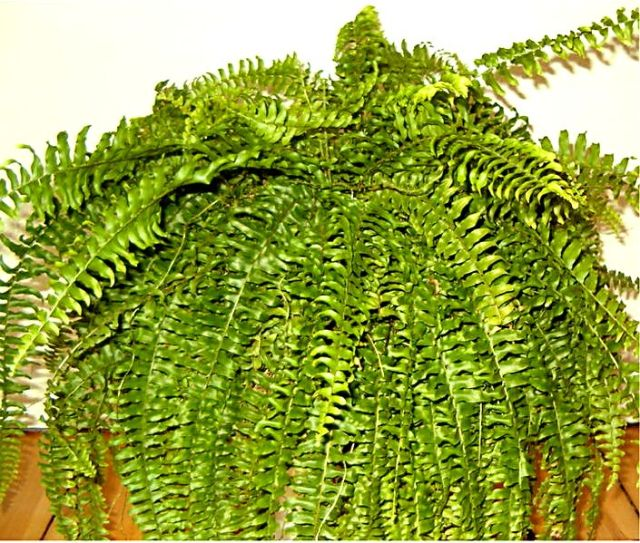 Nephrolepis_exaltata_indoor0705c