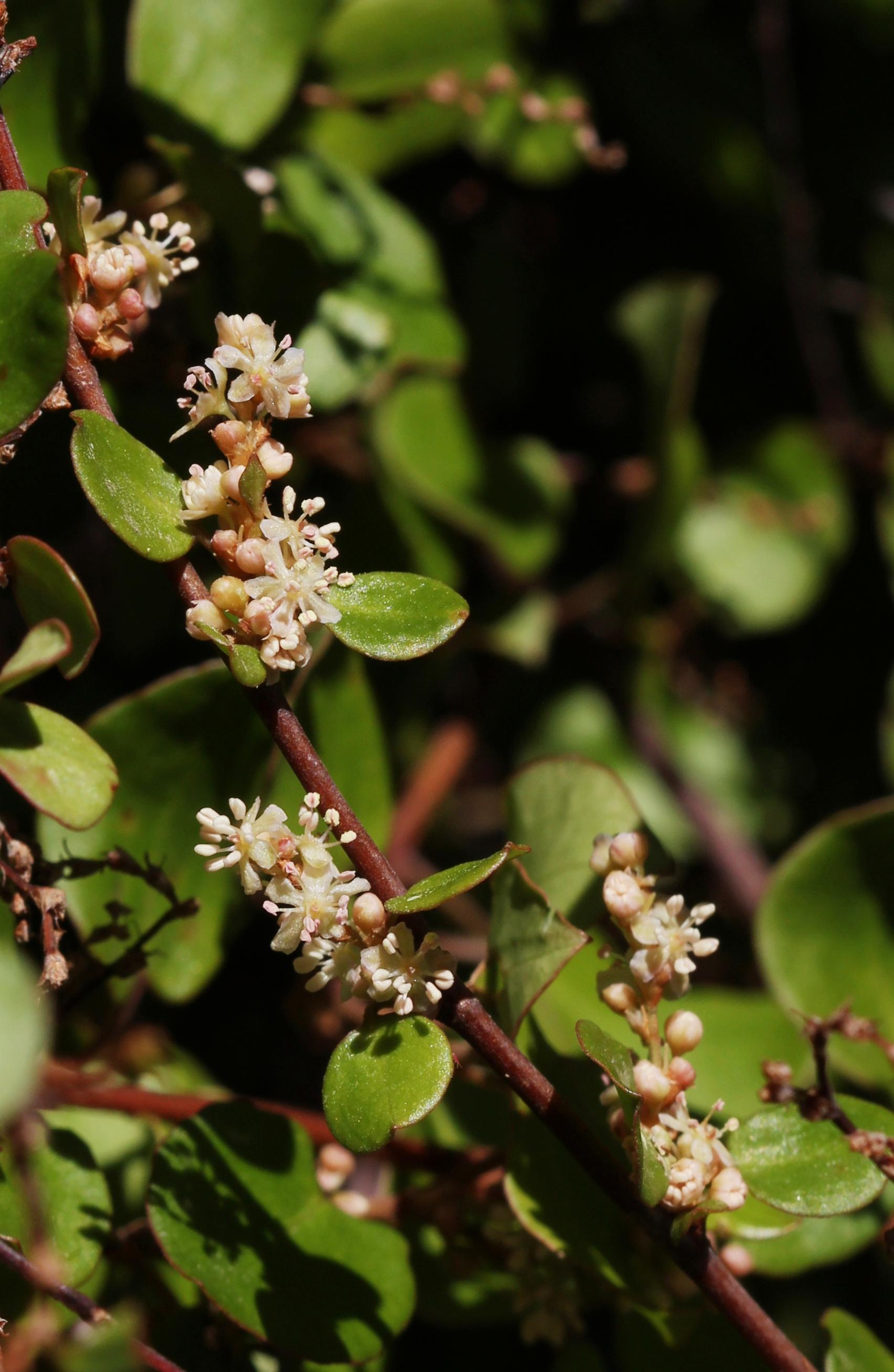 Muehlenbeckia_complexa_in_flower_T2i_IMG_104_1452.jpg