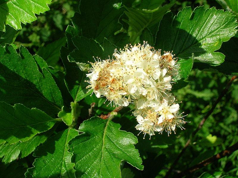 800px-Sorbus_arranensis